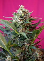2684_big-devil-xxl-sweet-seeds