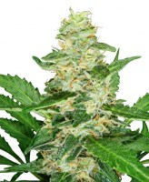 Super Skunk Automatic Sensi Seeds SDC Chile